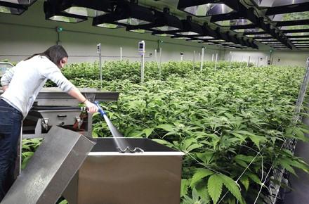 Cannabis Sanitation Validation